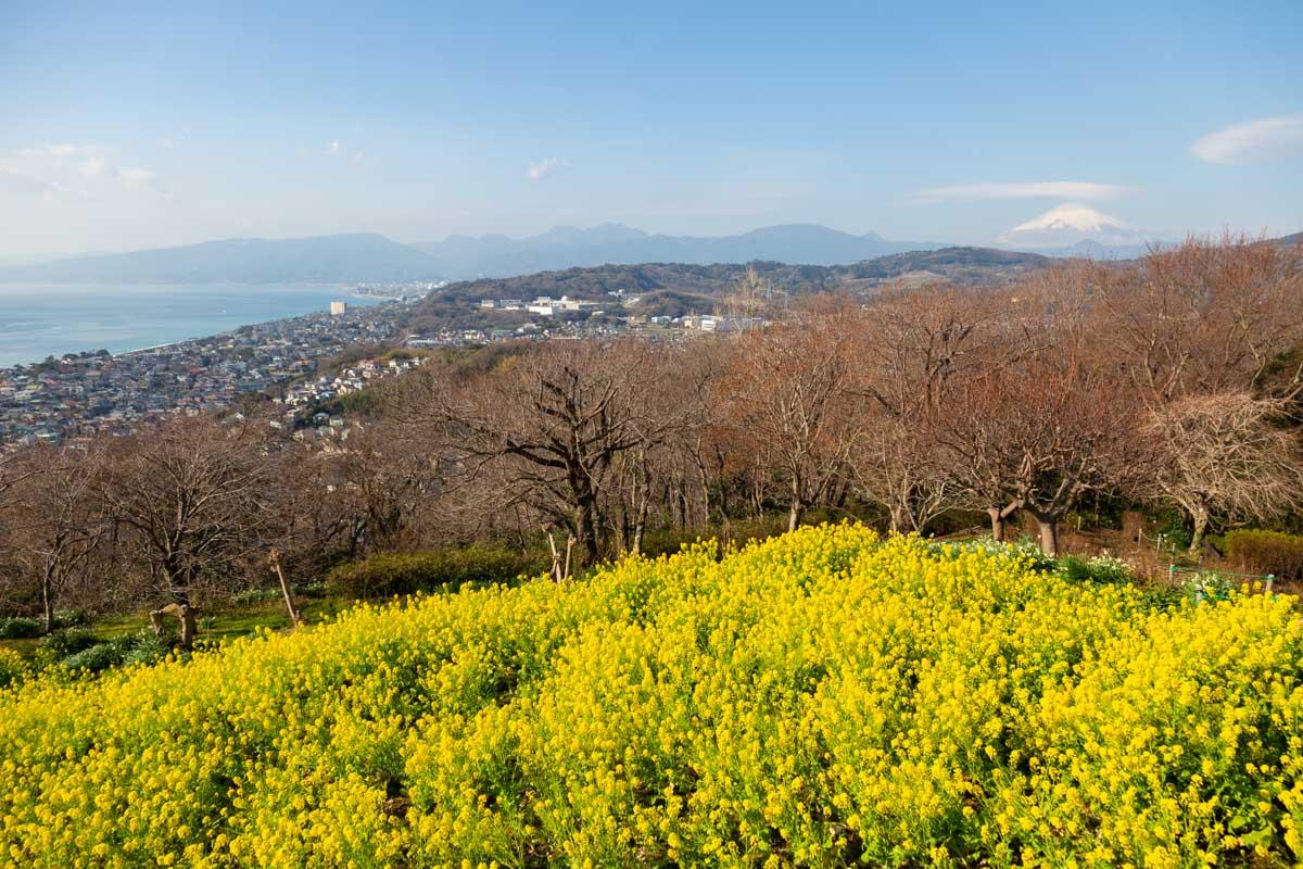 吾妻山公園菜の花畑展望台