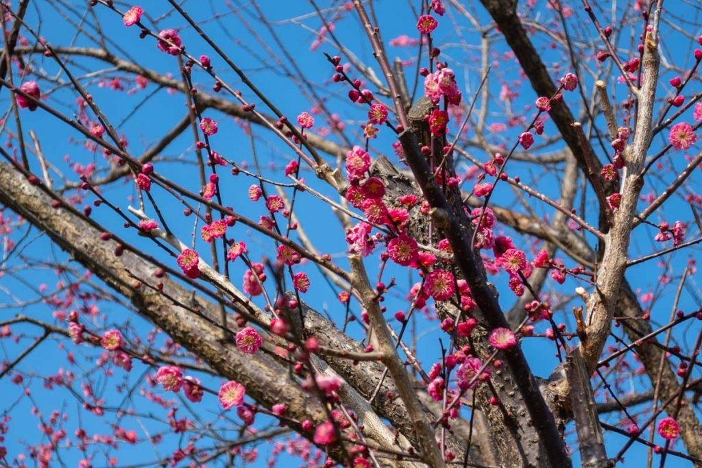 やまゆりライン道端の梅花