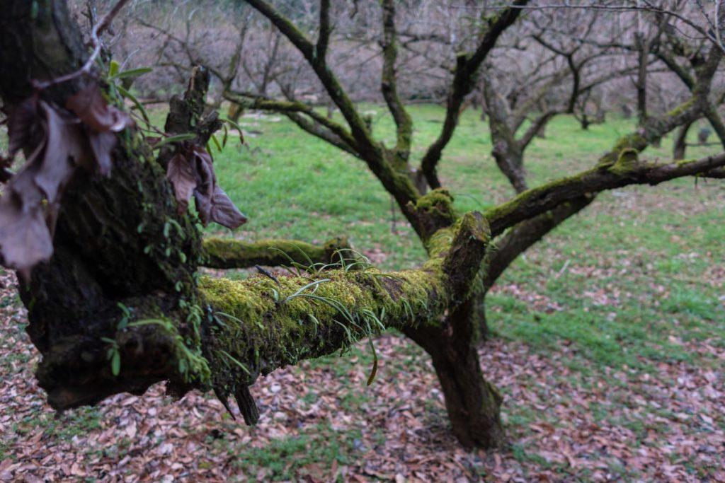 苔むした梅の老木