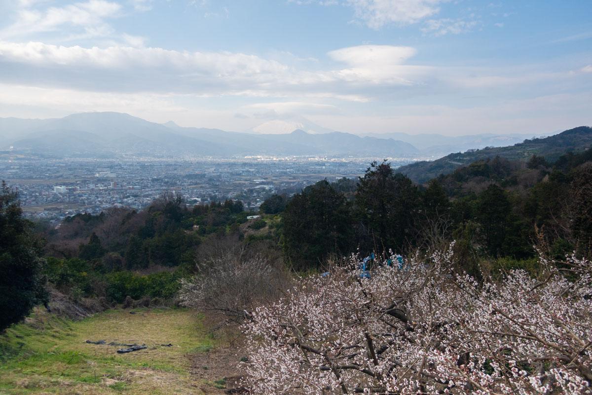 満開の梅花 富士山と足柄平野を背景に